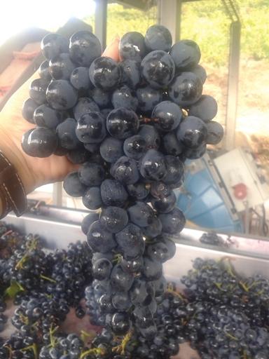 виноградная гроздь во время сортировки